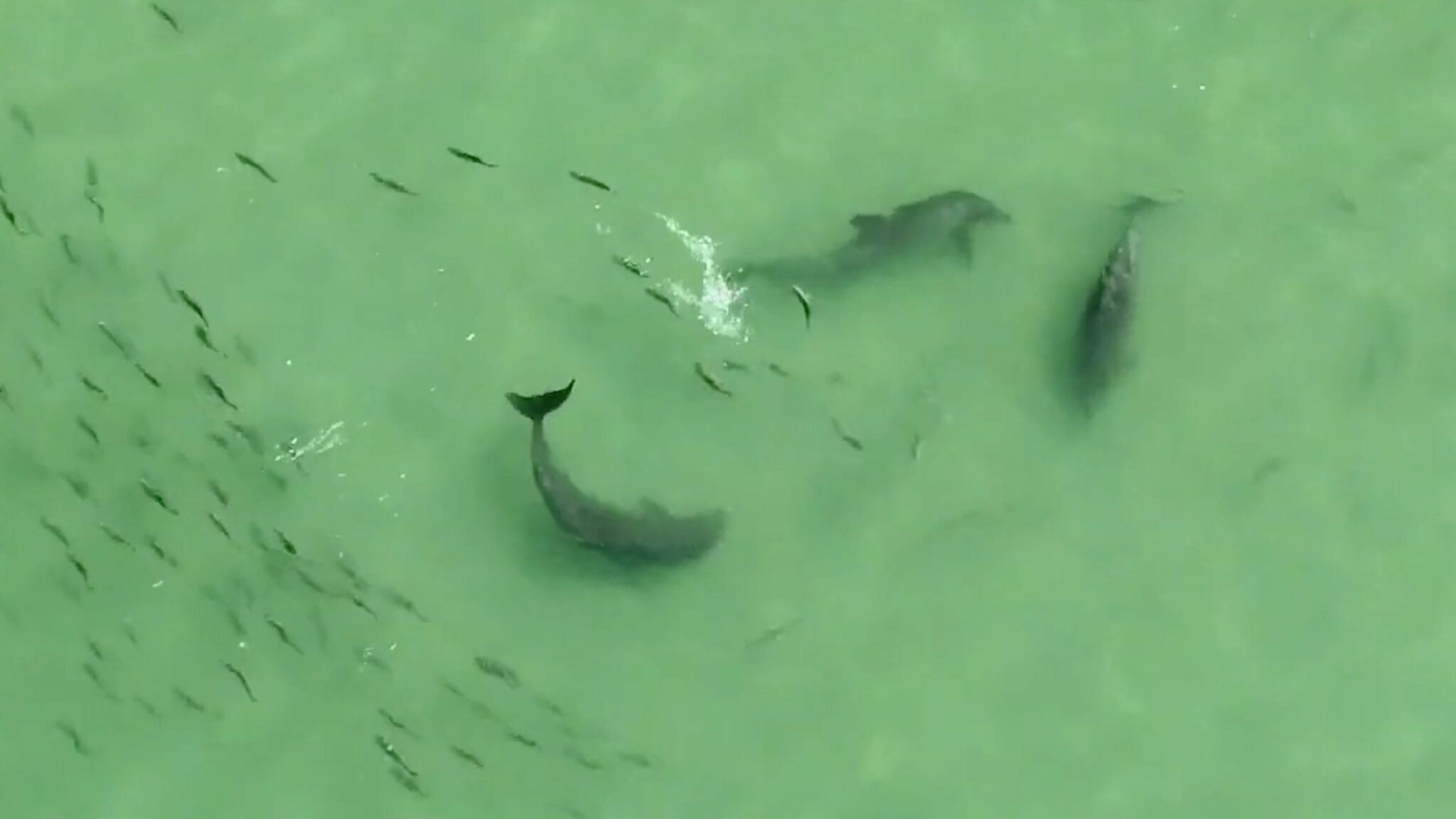 Drone video shows what lunch time for dolphins looks like in Tampa, Florida