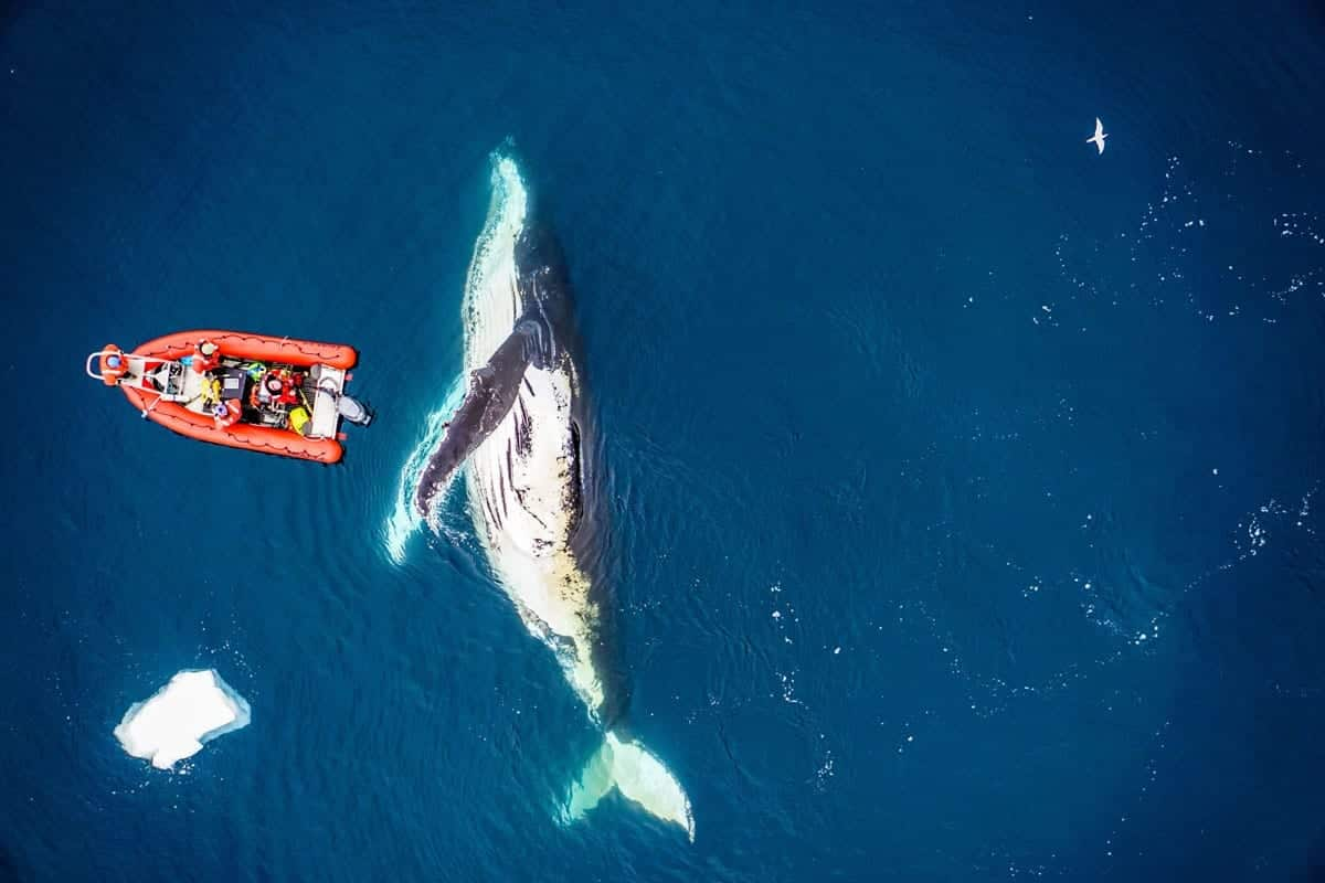 How do you measure a whale? With a drone, of course!