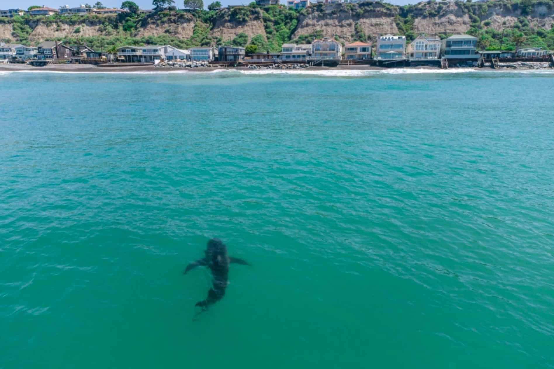 Drone in hot pursuit of great white shark at Dana Point