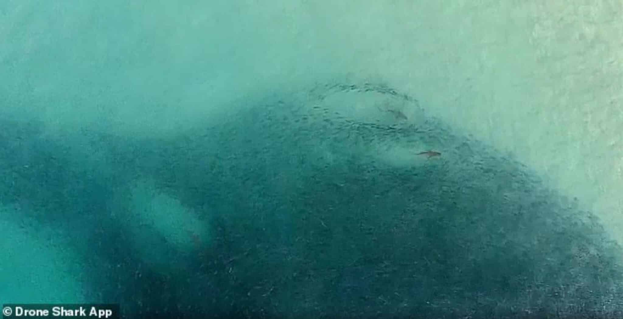 Drone video shows sharks feeding feet away from surfers at Bondi Beach