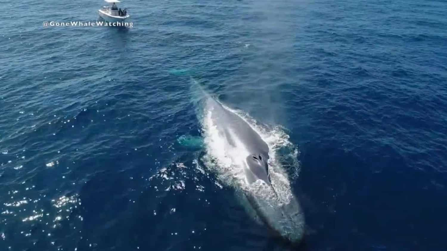 Blue whale captured by drone off San Diego coast