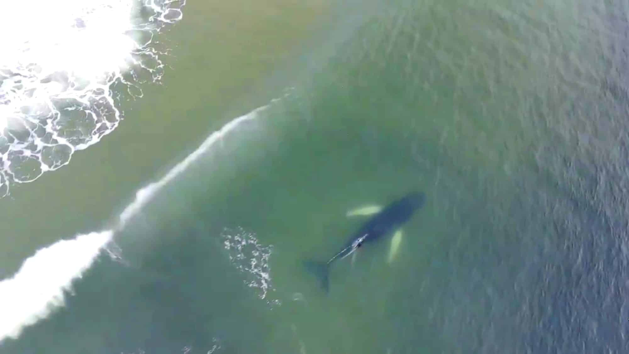 Drone captures massive humpback close to New Jersey shore