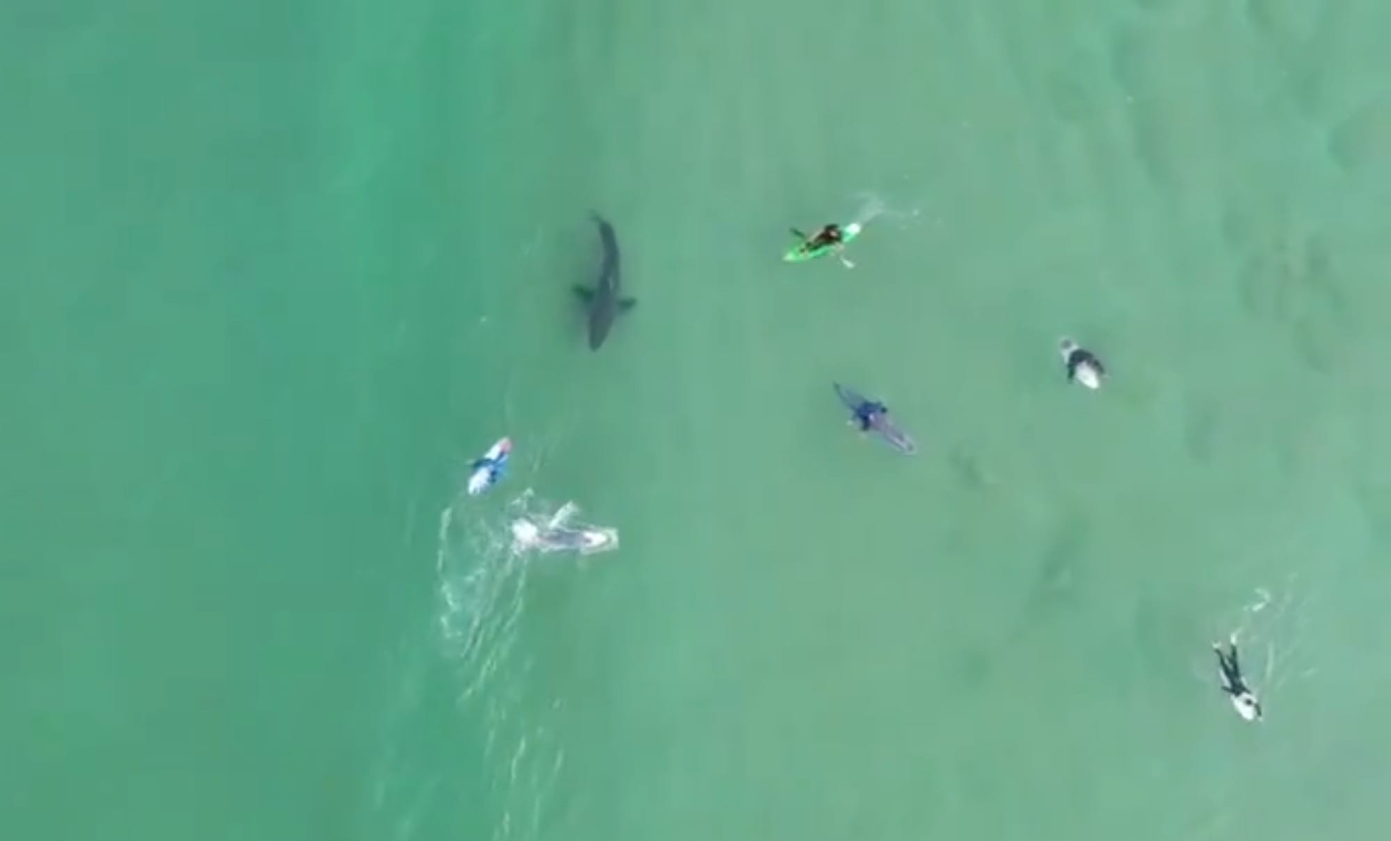 Drone video shows Great White Shark and surfers in a very close encounter