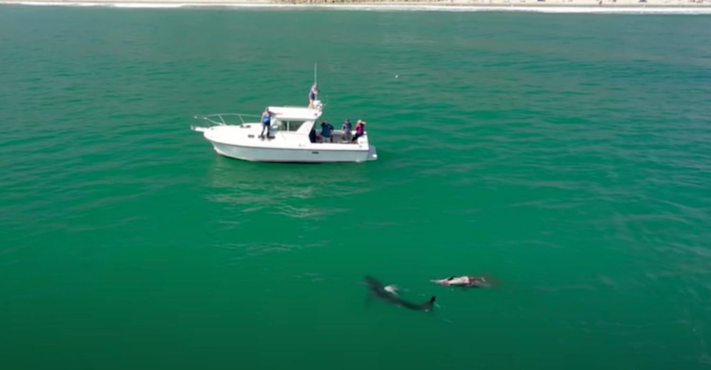 Drone video shows great white sharks feeding off Padaro Lane