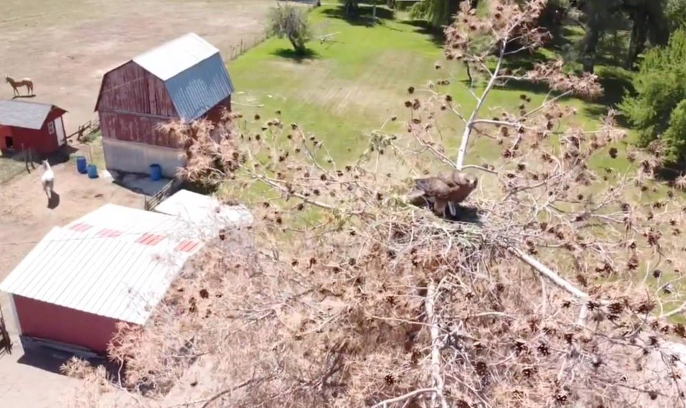 Drone video helps to identify and save hawks' nest