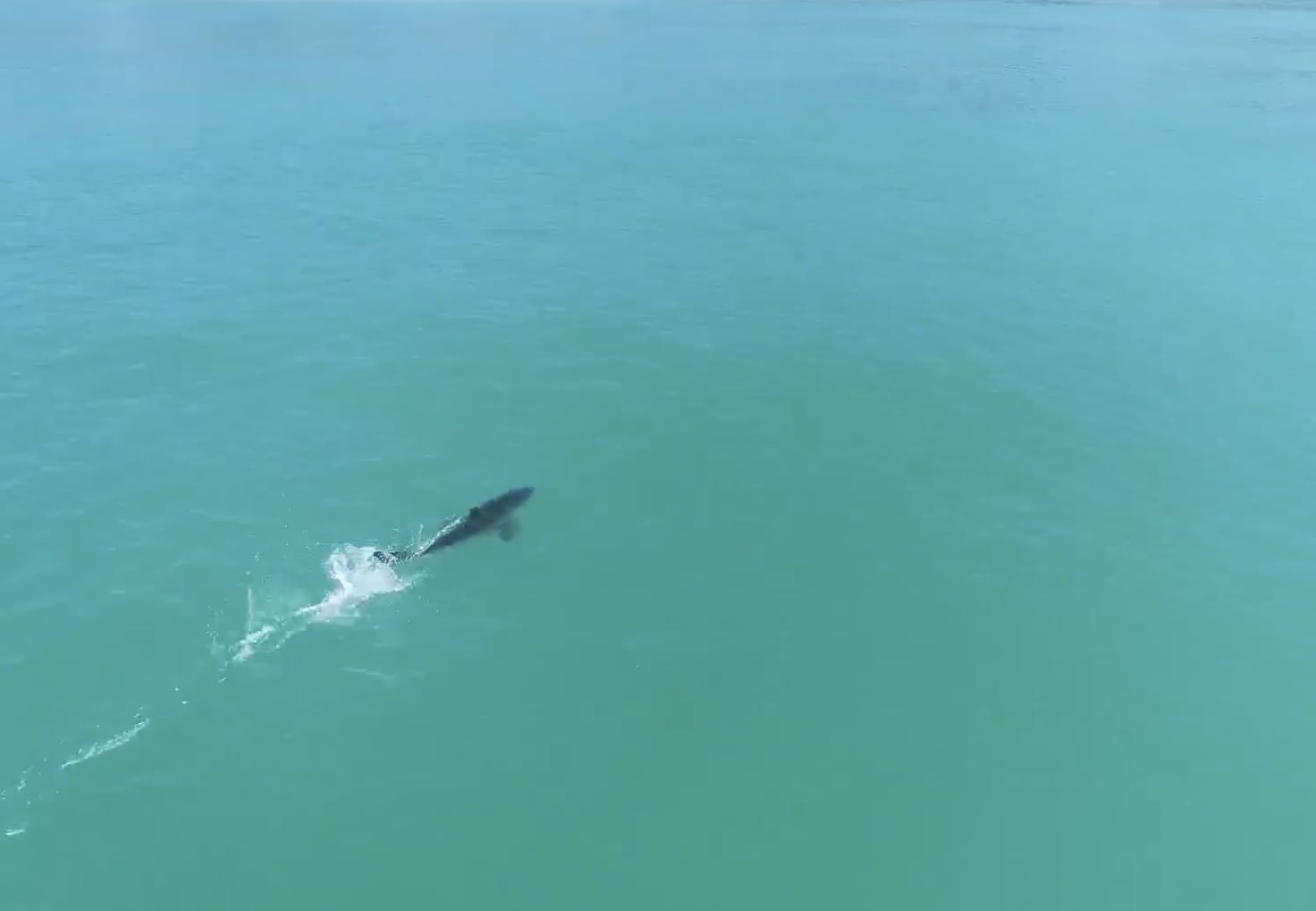 Drone captures shark swimming at high speed off the coast of Capo Beach
