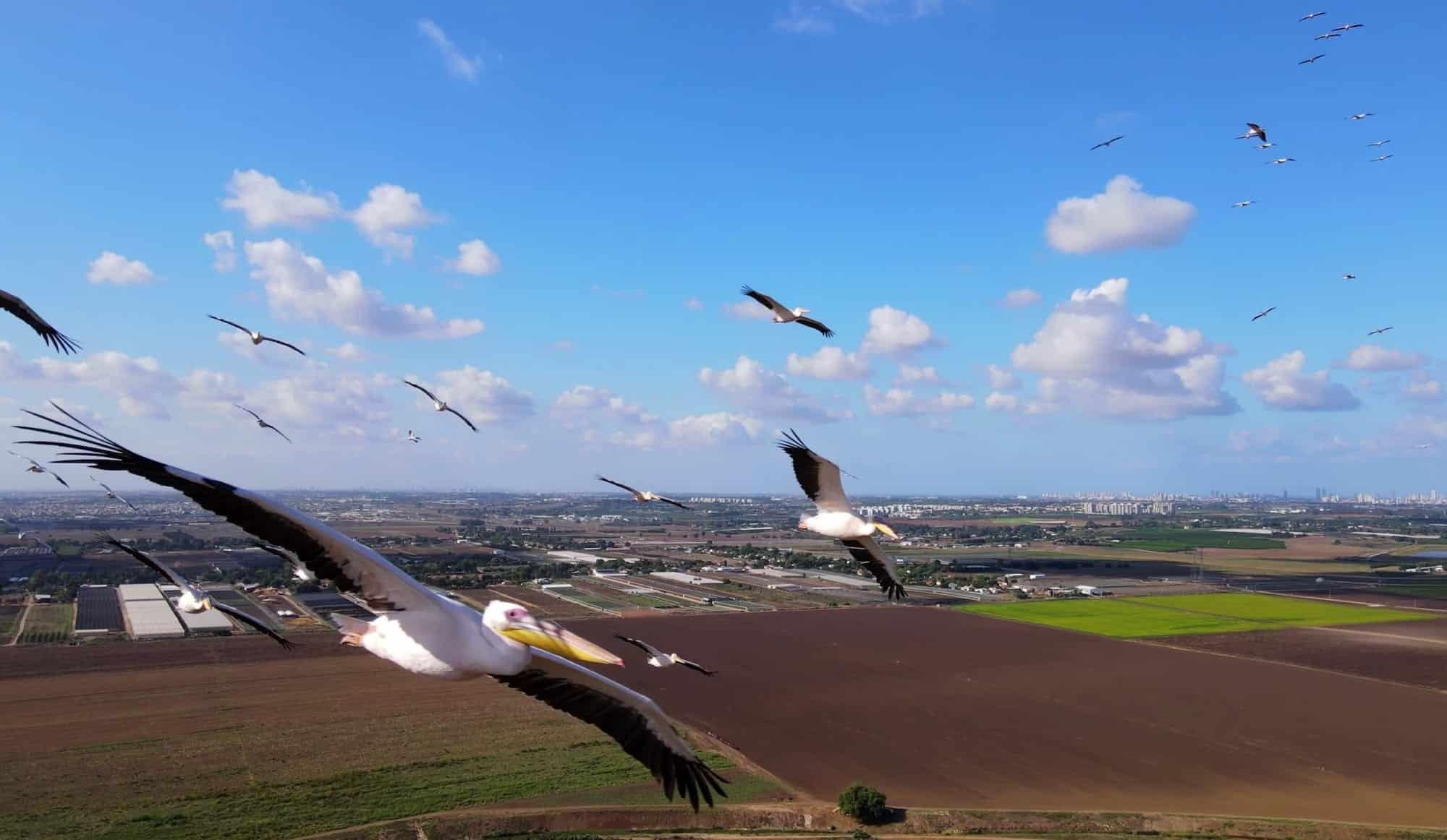 DJI Mavic Air 2 captures spectacular video of migrating pelicans