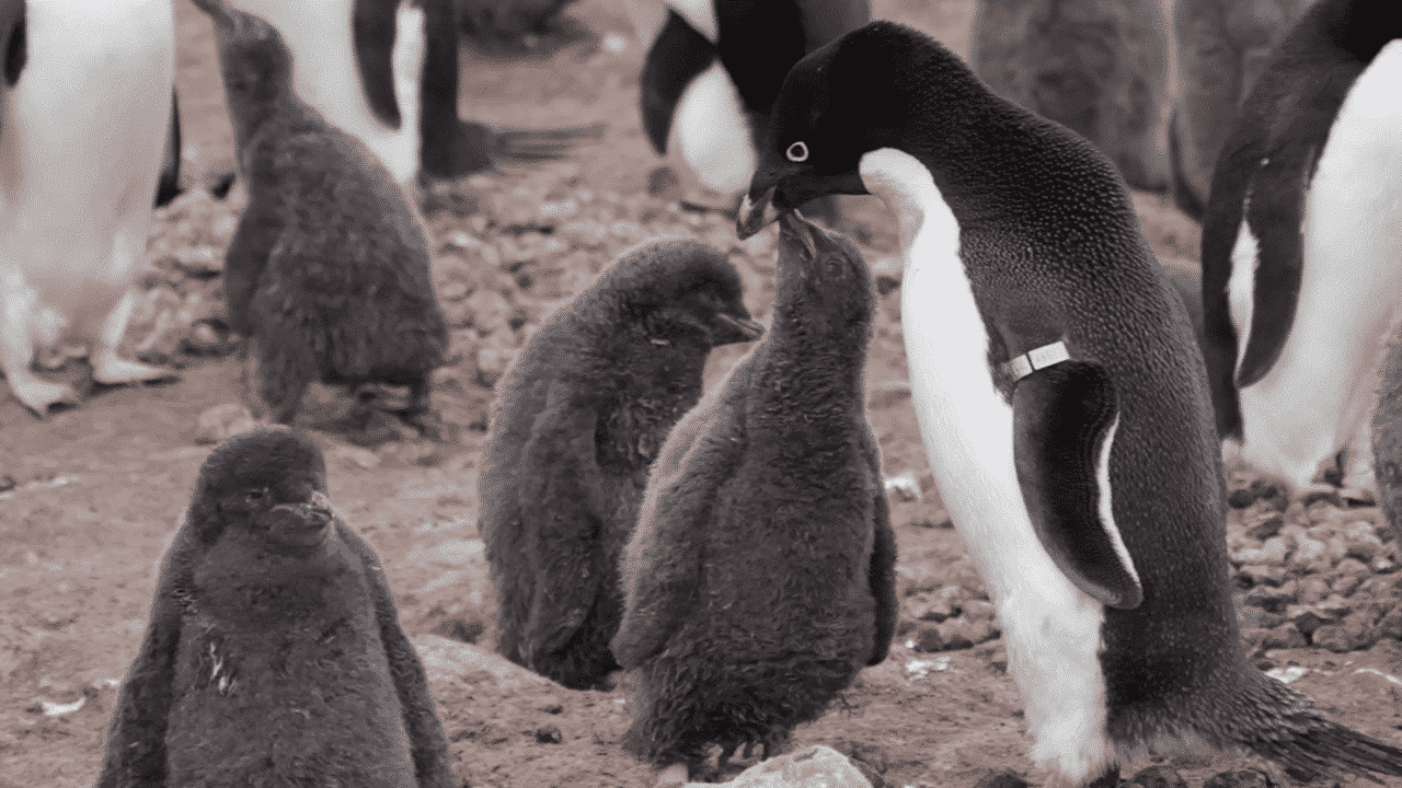 Autonomous drones count Antarctic penguin colonies in record time