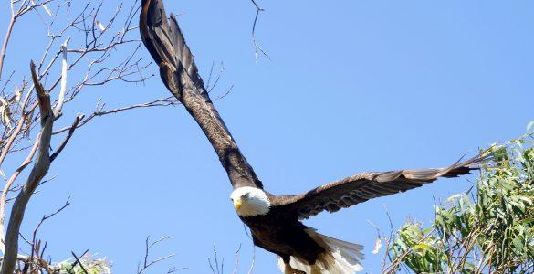Drone crashes into bald eagles nest
